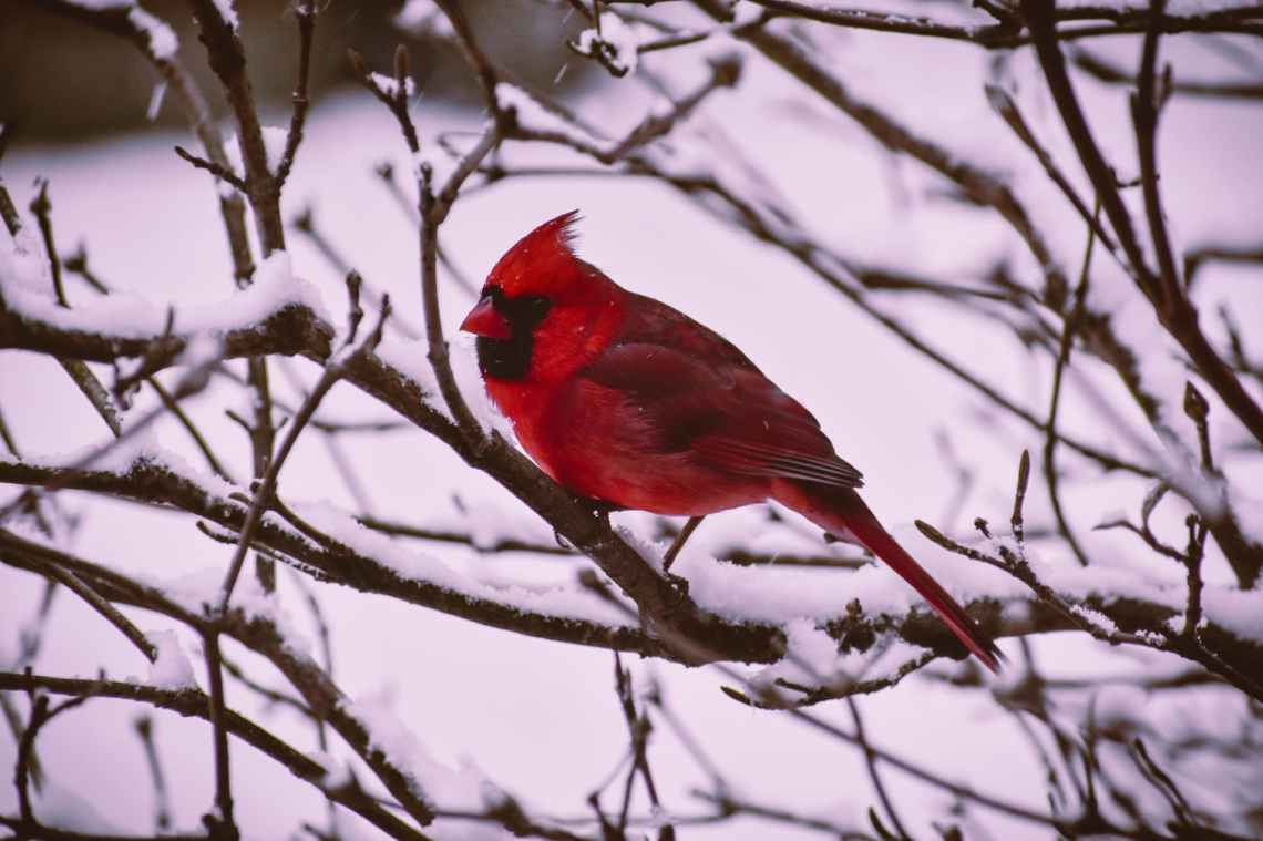 red and black bird illustration